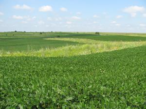 field with prairie strip